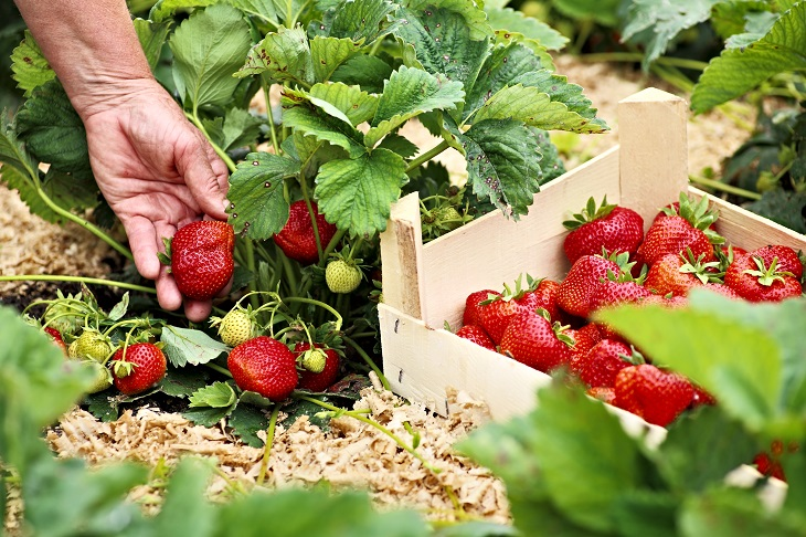 Regional Harvest_Strawberries